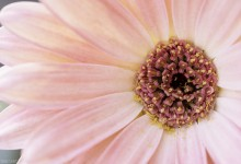 Day Seventy Nine, 'NoWhere, MN'. Gerber daisy - the only plant I'm buying this Spring.