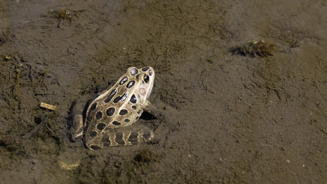 Day Sixty Five, 'NoWhere, MN'. Leopard Frog near the Minnesota River.