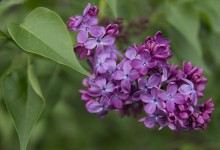 Day Eighty Six, 'NoWhere, MN'. Lilacs.