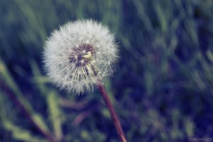 Day Ninety, 'NoWhere, MN'. Dandelion.